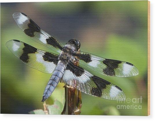 Eight-spotted Skimmer  Wood Print