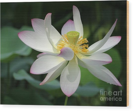 Elegant Lotus Wood Print