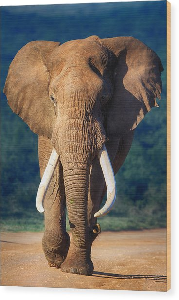Elephant Approaching Wood Print