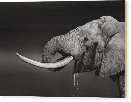 Elephant Bull Drinking Water - Duetone Wood Print