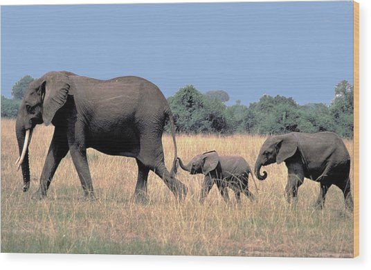 Elephant Family Wood Print by Carl Purcell