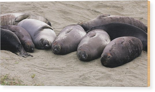 Elephant Seals Wood Print