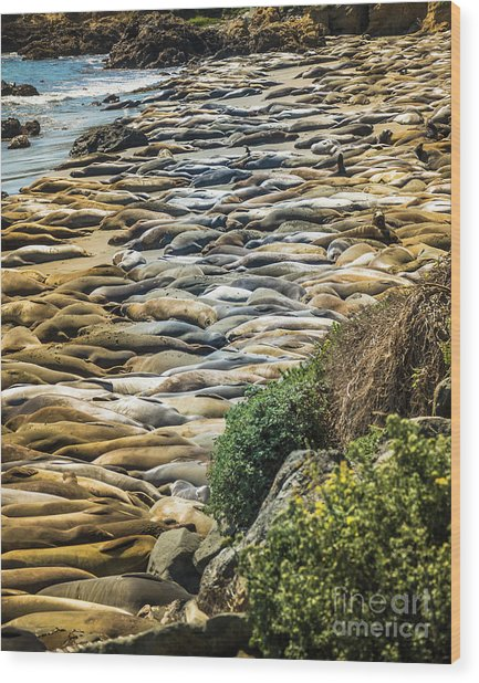 Elephant Seals Pierdras Blancas Wood Print