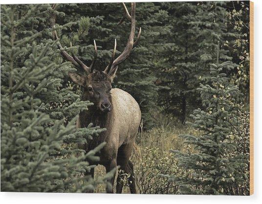 Elk Bull Wood Print