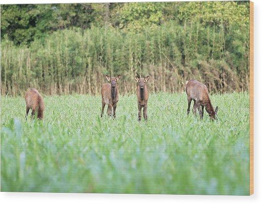 Elk Calves Wood Print