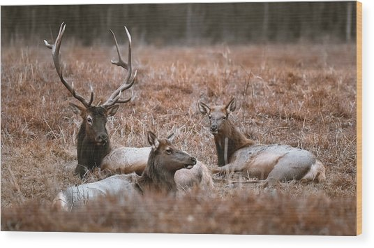 Elk Family Portrait Wood Print by Garett Gabriel