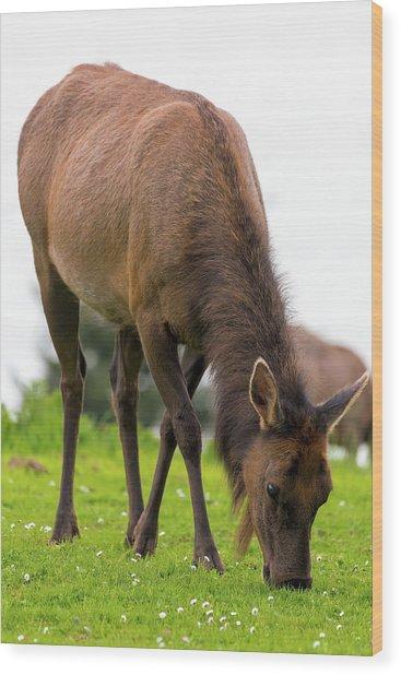 Elk Grazing On Green Pasture Closeup Wood Print