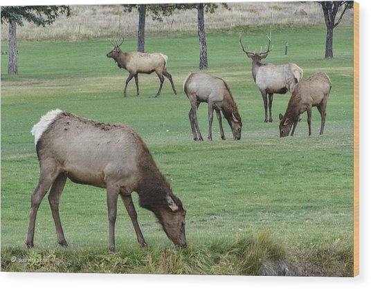Elk On Golf Course Estes Park Colorado Wood Print