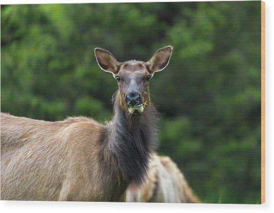 Elk Staring Closeup Portrait Wood Print
