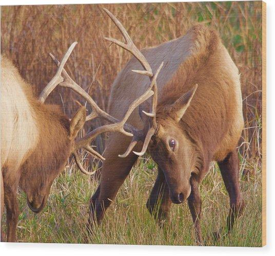 Elk Tussle Wood Print