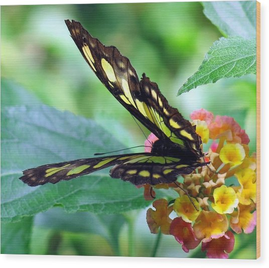 Elusive Butterfly Wood Print