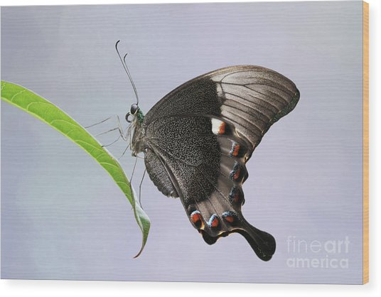 Emerald Peacock Swallowtail Butterfly V2 Wood Print