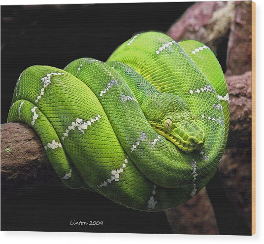 Emerald Tree Snake Wood Print