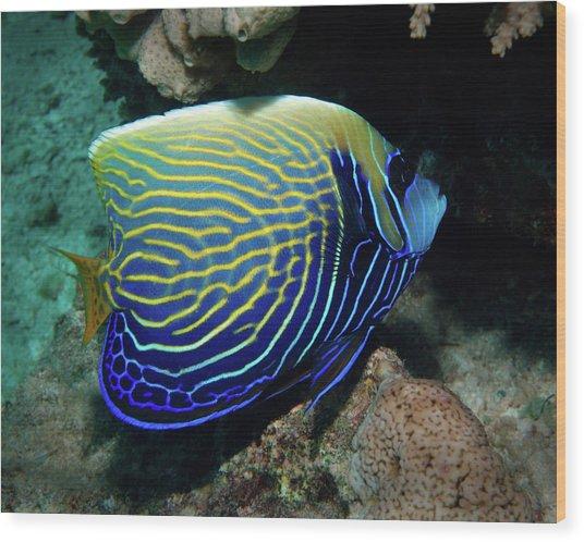 Emperor Angelfish, Red Sea 1 Wood Print