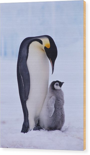 Emperor Penguin Adult With Chick Wood Print
