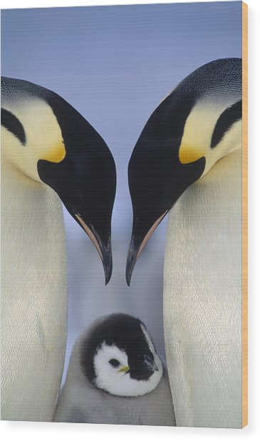 Emperor Penguin Family Wood Print