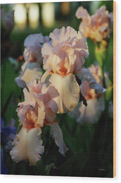 End Of Day Pink Irises 6702 H_2 Wood Print