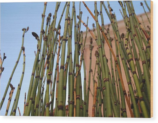 Equisetum Wood Print by Jean Booth