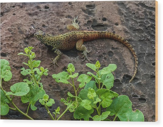 Espanola Lava Lizard Wood Print by Harry Strharsky