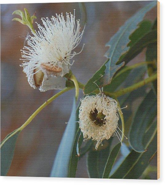 Eucalyptus Bloom Wood Print by Jean Booth