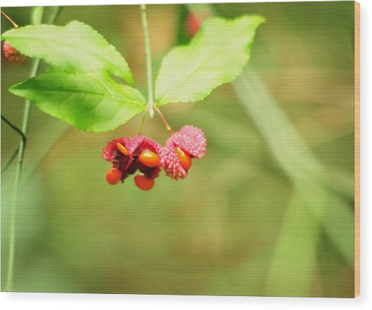 Euonymus Americanus  American Strawberry Bush Wood Print
