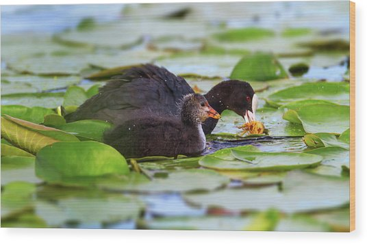 Eurasian Or Common Coot, Fulicula Atra, Duck And Duckling Wood Print