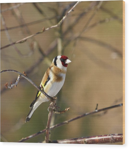 European Goldfinch 2 Wood Print