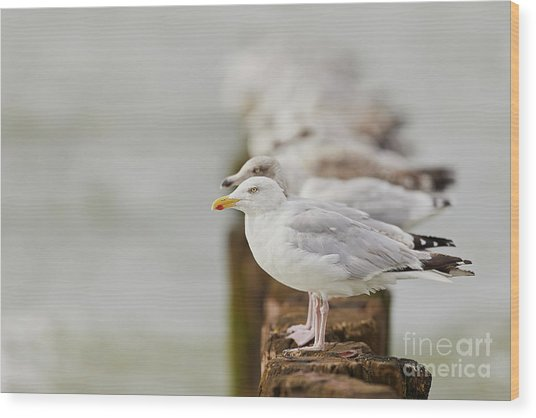 European Herring Gulls In A Row Fading In The Background Wood Print