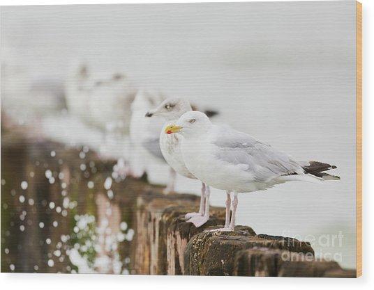 European Herring Gulls In A Row  Wood Print