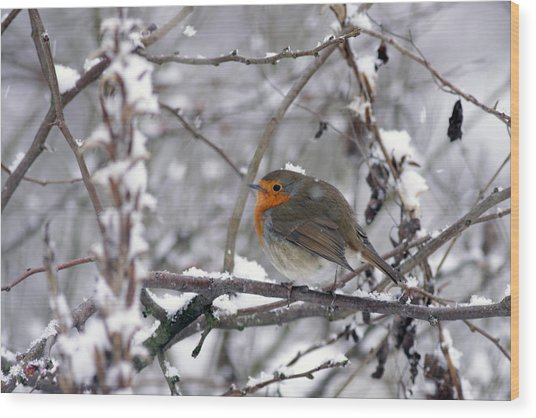European Robin In The Snow At Christmas Wood Print