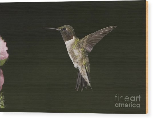 Evening Hummer Wood Print by Michael Greiner