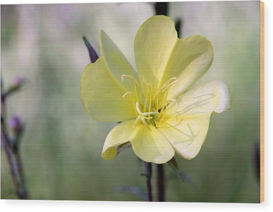 Evening Primrose In The Morning Wood Print by MH Ramona Swift