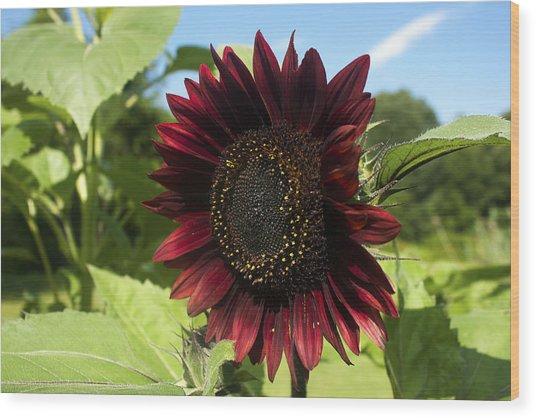 Evening Sun Sunflower #1 Wood Print
