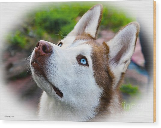 Expressive Siberian  Husky Photo C62017 Wood Print