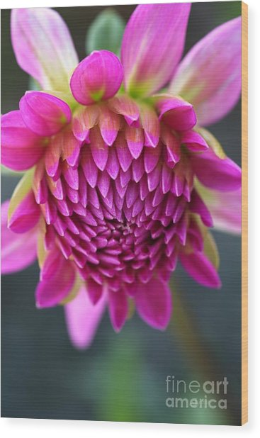 Face Of Dahlia Wood Print