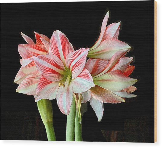 Fairyland Amaryllis  Wood Print