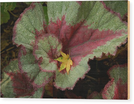 Fall Begonia Wood Print
