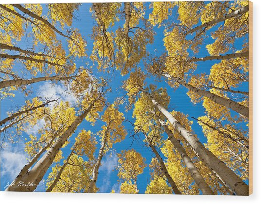 Fall Colored Aspens In The Inner Basin Wood Print