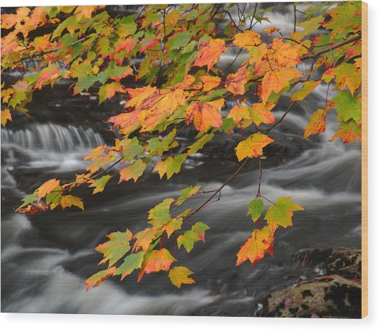 Fall Foliage In Acadia National Park  Wood Print by Juergen Roth