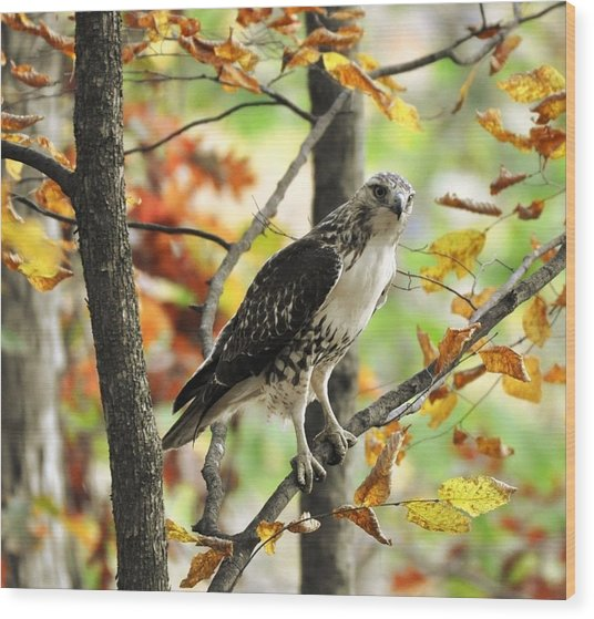 Fall Red-tailed Hawk Wood Print