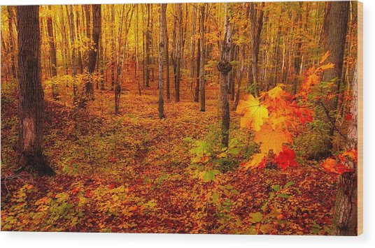 Fall Sugar Bush Wood Print