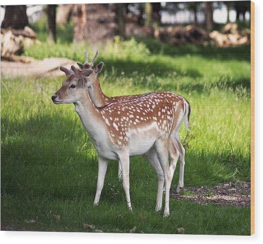 Fallow Deer In Richmond Park Wood Print