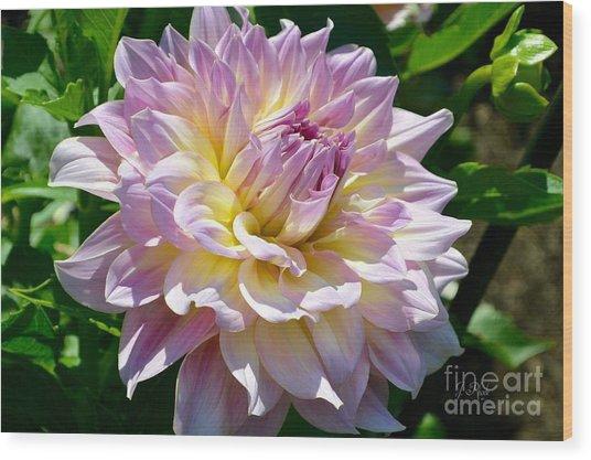 Fancy Dahlia In Pinks Wood Print
