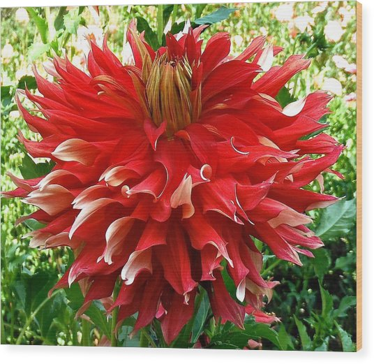 Fancy Red Dahlia Wood Print