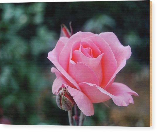 Fantin-latour Paris Roses Wood Print by JAMART Photography