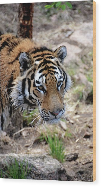 Feline Focus Wood Print