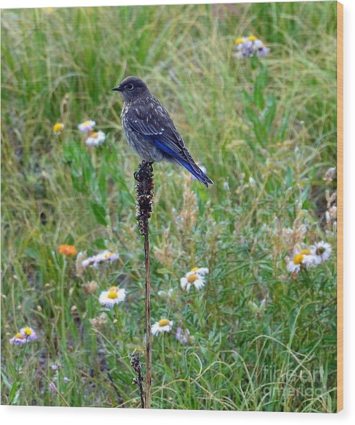 Female Bluebird Wood Print