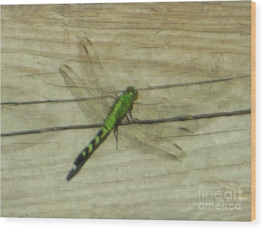 Female Eastern Pondhawk Dragonfly Wood Print
