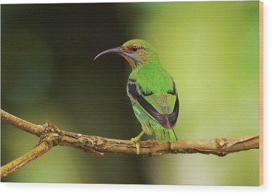 Female Green Honeycreeper At Trinidad's Asa Wright Wood Print