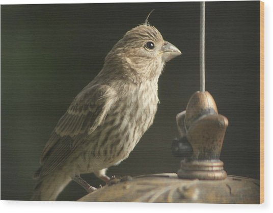 Female House Finch On Feeder Wood Print